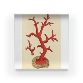 赤サンゴ アクリルブロック