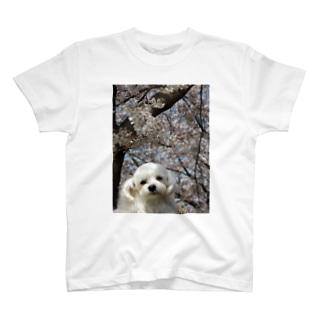 マルチーズと桜 T-shirts