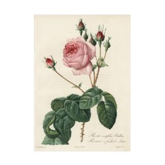 『バラ図譜』  吸着ターポリン