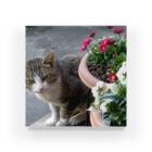 riruのおみせの近所の猫 トム Acrylic Block