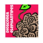 パキポキさんのDioscorea elephantipes Bandana