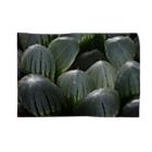 aomatuのハオルチア オブツーサ系4「ドドソン紫オブツーサ」 Blankets