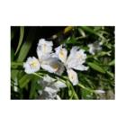 FUCHSGOLDの日本の花:ヒメシャガ Iris gracilipes A. Gray Stickable posterの横向き