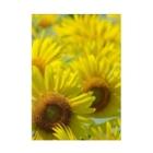 K-ioriの季節の花 ひまわり Stickable tarpaulin