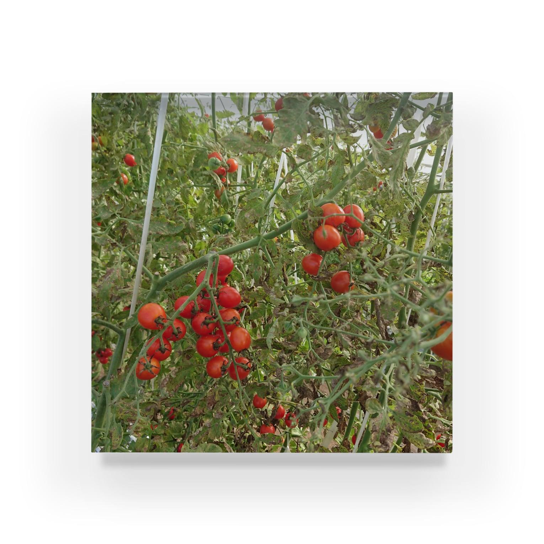 Masakiのミニトマト収穫前 Acrylic Block