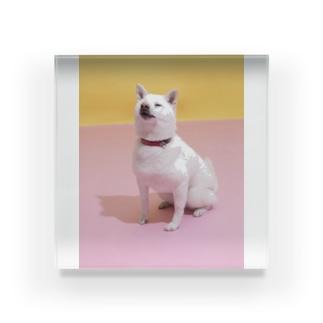 アクリルブロック   白柴「我輩は犬である」 Acrylic Block