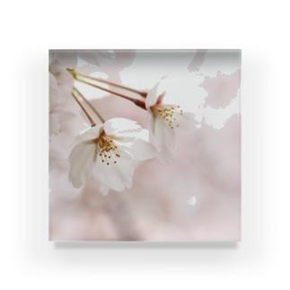 なかよし桜 Acrylic Block