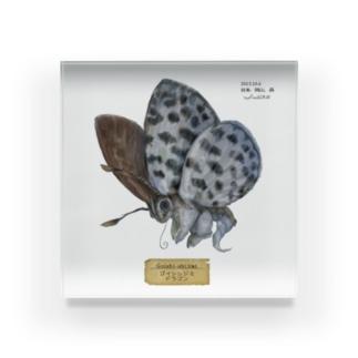 碁石シジミドラゴンの標本 Acrylic Block