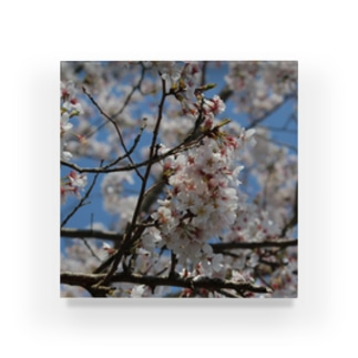 桜ーSAKURAー Acrylic Block