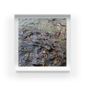 パクパクコイ鯉 Acrylic Block