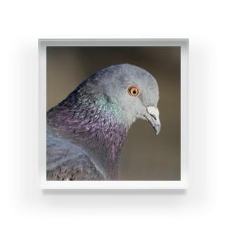 可愛い鳩 Acrylic Block