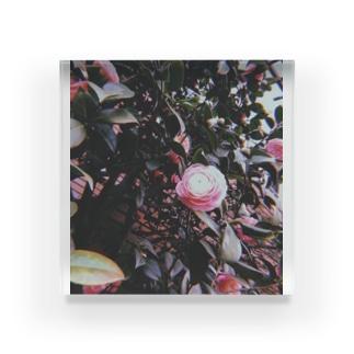 ピンクの椿 Acrylic Block