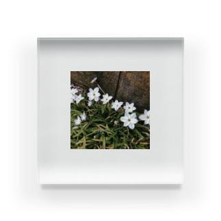 道端に咲くハナニラ Acrylic Block