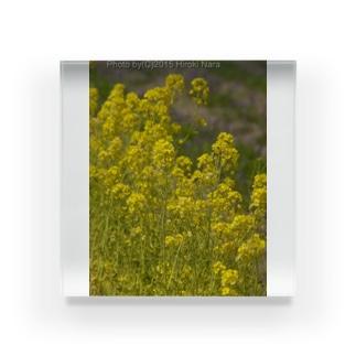 菜の花 春に佇む  Acrylic Block