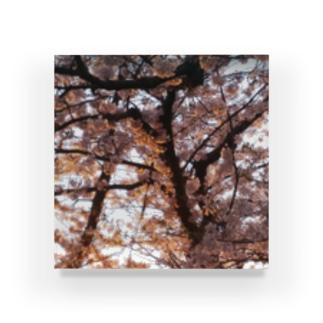 夕焼けに照らされた桜 Acrylic Block