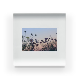 夕暮れの秋桜 Acrylic Block