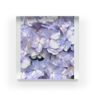 紫陽花の花言葉は移り気 Acrylic Block