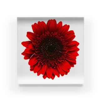 *ガーベラ* Acrylic Block