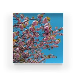 青空に八重桜 Acrylic Block