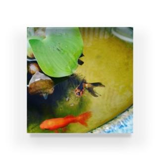 こっち見てる金魚 Acrylic Block