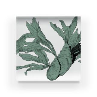 自由に育つビカクシダ Acrylic Block