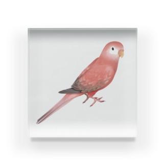 アキクサインコ ピンク【まめるりはことり】 Acrylic Block
