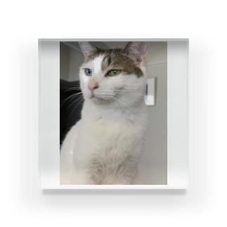 白猫オッドアイしろちゃ2 Acrylic Block