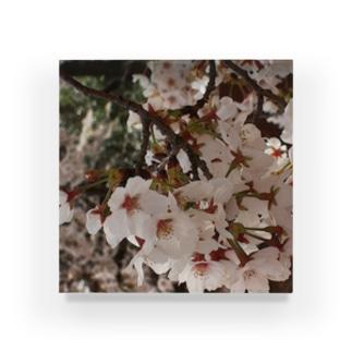 桜 サクラ cherry blossom DATA_P_152 春 spring Acrylic Block