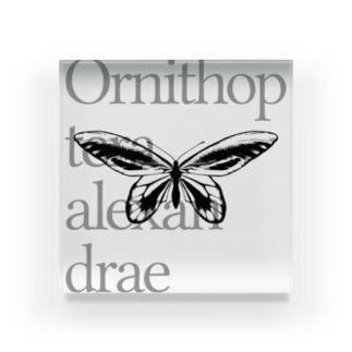 Ornithoptera alexandrae Acrylic Block