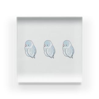 可愛いアメリカンホワイト マメルリハちゃん【まめるりはことり】 Acrylic Block