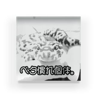 ベタ慣れ個体 爬虫類 Acrylic Block