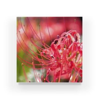 季節の花 彼岸花 Acrylic Block