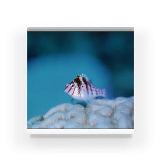 ちっちゃい魚 Acrylic Block