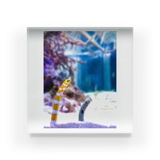 可愛いチンアナゴ Acrylic Block