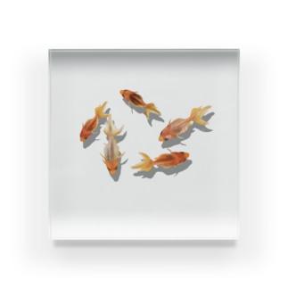 金魚のペーパーウェイト Acrylic Block