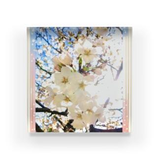 桜  Acrylic Block