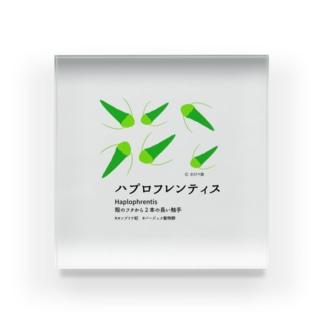 ハプロフレンティス Acrylic Block
