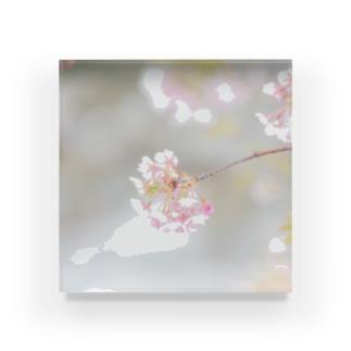 キラキラの桜 Acrylic Block
