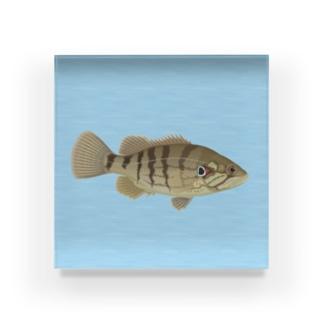 オヤニラミ(魚) Acrylic Block