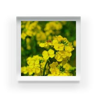 菜の花と蜜蜂 Acrylic Block
