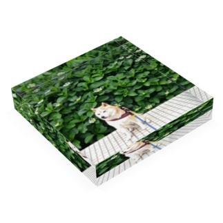 豆柴ビーンと緑 Acrylic Block