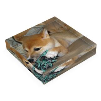 日本の犬:柴犬 Japanese dog: Shiba inu Acrylic Block