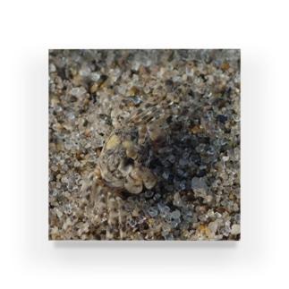 砂に擬態!?コメツキガニ Acrylic Block