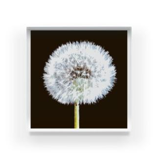 タンポポ 「植物の肖像画」シリーズ Acrylic Block