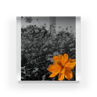 キバナコスモス Acrylic Block