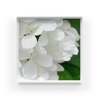 白紫陽花から落ちる雫 Acrylic Block