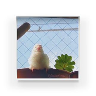 白文鳥のチマフミ Acrylic Block
