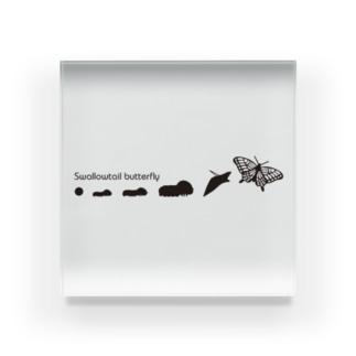 ナミアゲハの成長 Acrylic Block