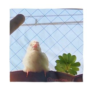 白文鳥のチマフミ Bandana