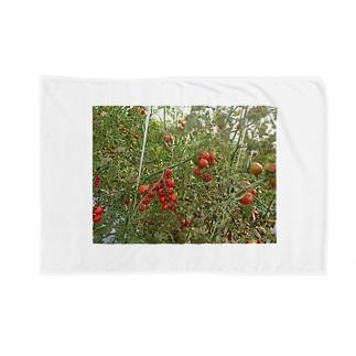 ミニトマト収穫前 Blankets
